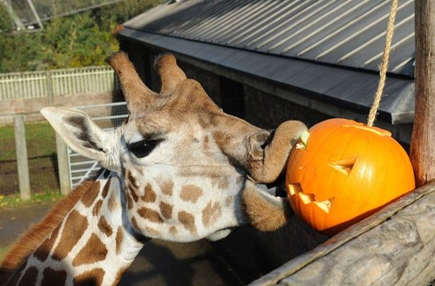 """How do I get in this thing? -- Nice lips! Trying to get the pumpkin down, this giraffe looks like he's one hungry animal."""