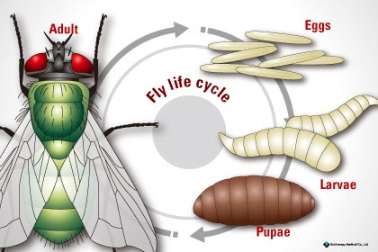 Fly life cycle illustration