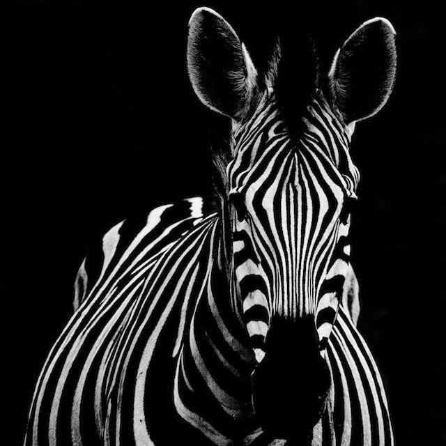 Striking patterns on a Zebra