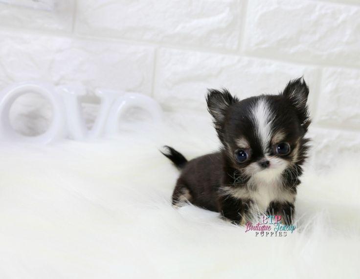 Chihuahua Puppies For Sale : Teacup Chihuahua , Tiny Chihuahua ...