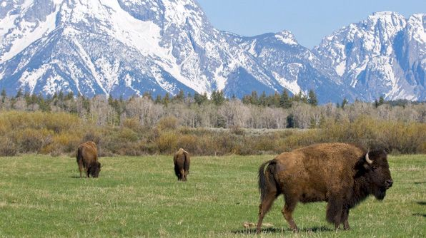 Bison-watching in Yellowstone and Grand Teton National Parks