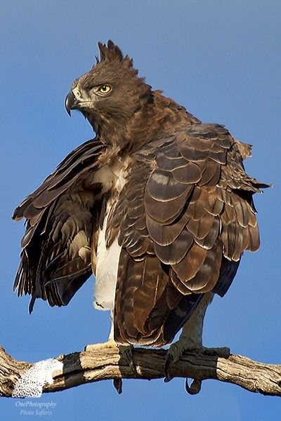 Martial Eagle by Onephotography Photographic Safaris on 500px