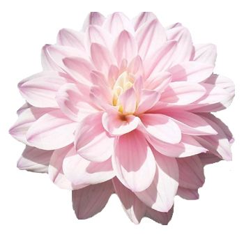 Find This Pin And More On Flowers Light Pink