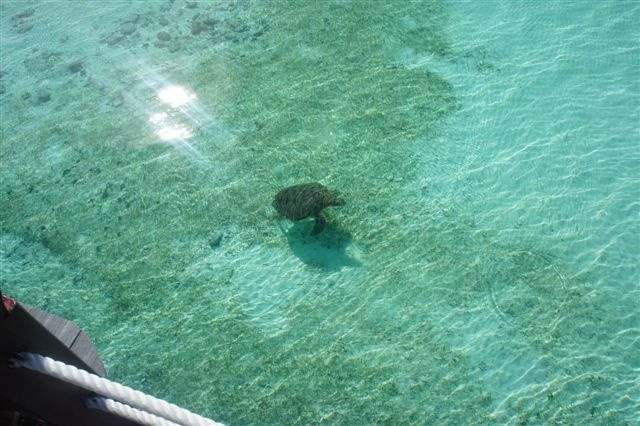Turtle @ derawan. Just look into the water from d deck and you will see it