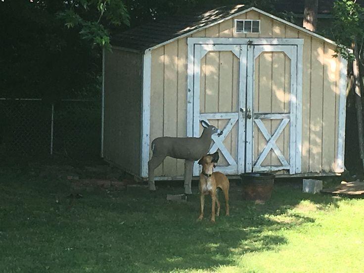 Dog posing with deer decoy 😂