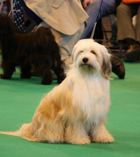 This is what Cooper would look like if I let his fur grow.  Tibetan Terriers have the best personality!