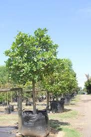 Karaka size at time of planting