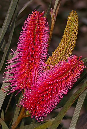 Hakea francisiana; such bright flowers. The key to avoid having a boring garden is to have plants that overlap in flowering seasons. That way you have colour all year round.