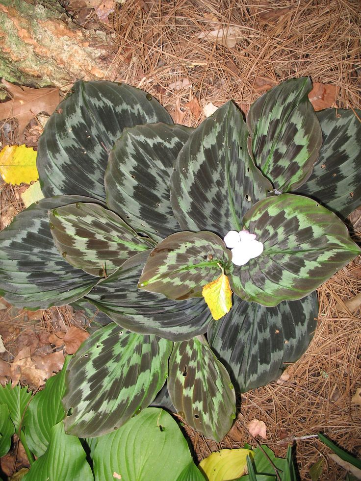 242 best Tropical plants for Zone 8b to 10 images on ...