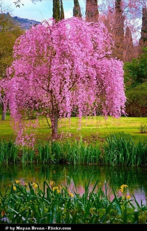 Pin By Valentina Gerasimova On Tajkepek Beautiful Tree Flowering Trees Blossom Trees