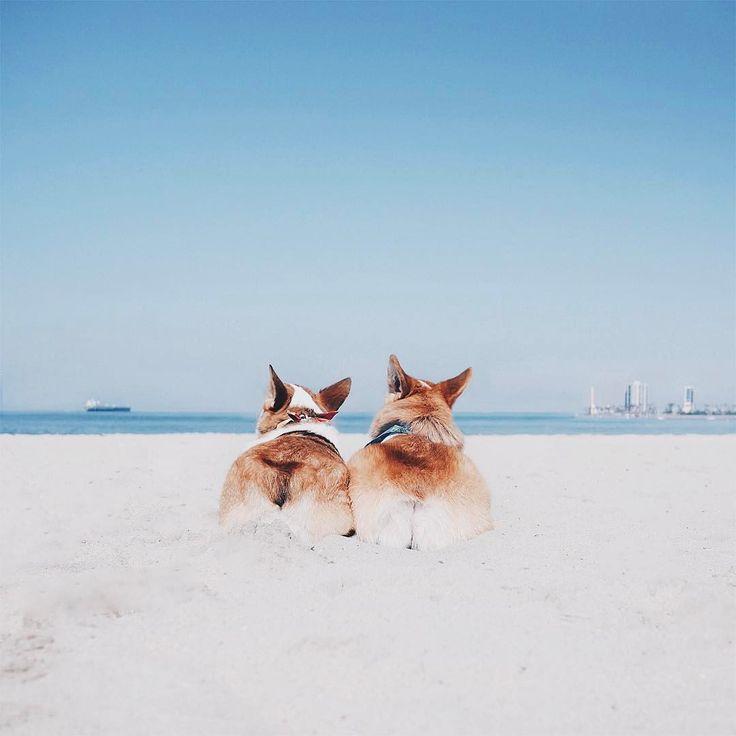 corgi beach bums