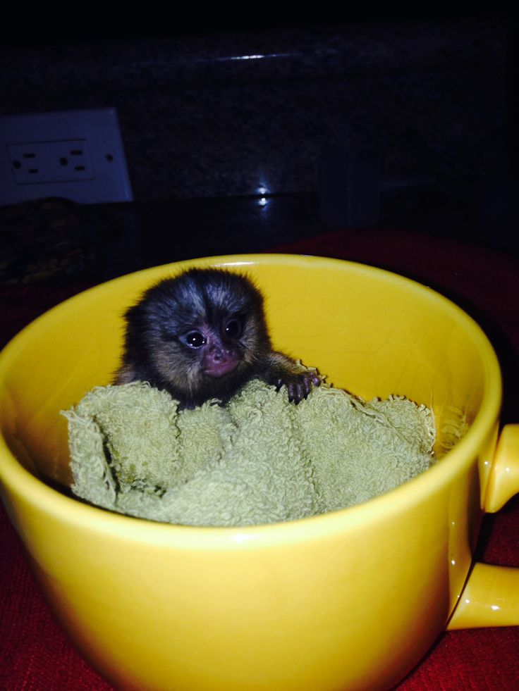 Pygmy marmoset monkey for sale in a cup