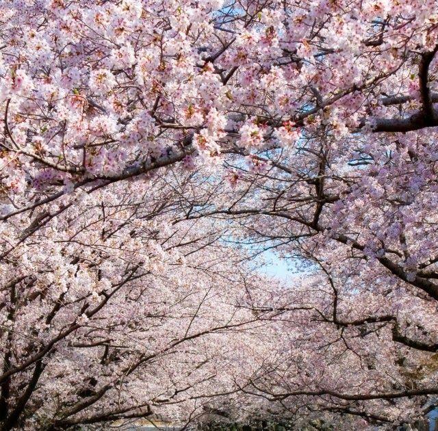 Wallpaper Bunga Sakura Full Hd Di 2020 Wallpaper Bunga Bunga