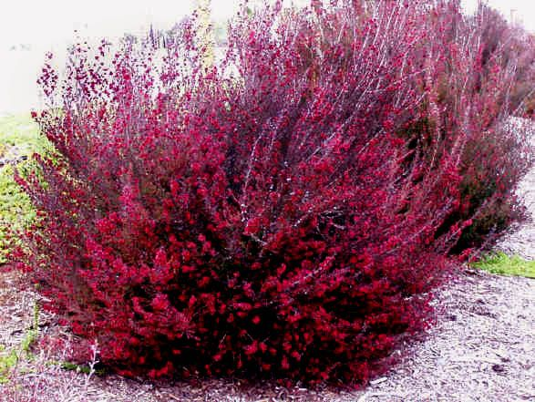Leptospermum scoparium, Ruby Glow - New Zealand Tea Tree, cold and drought tolerant, bloom winter to spring, zones = unknown