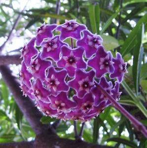 Hoya abulous Purple Cluster