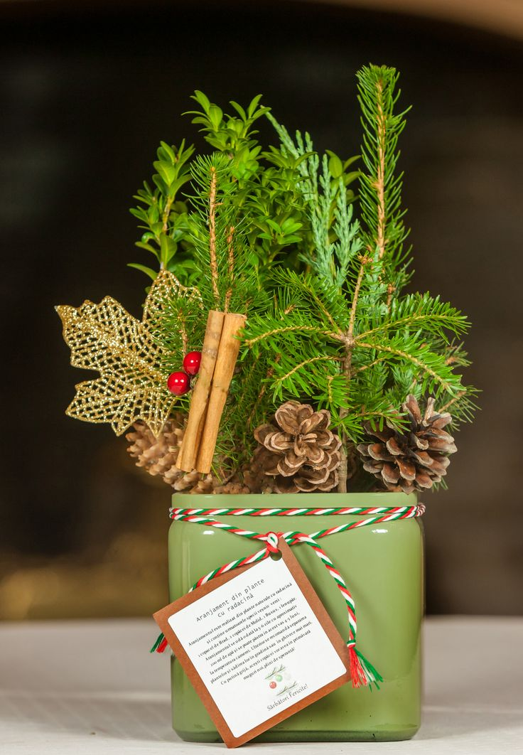 Christmas table arrangement with evergreen plants #conifers #pottedplants #christmaspot #christmasdecoration #christmasplants #christmastree #christmastabletree #christmasdecor