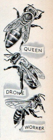 Three types of Honey bee within the colony                                                                                                                                                                                 More