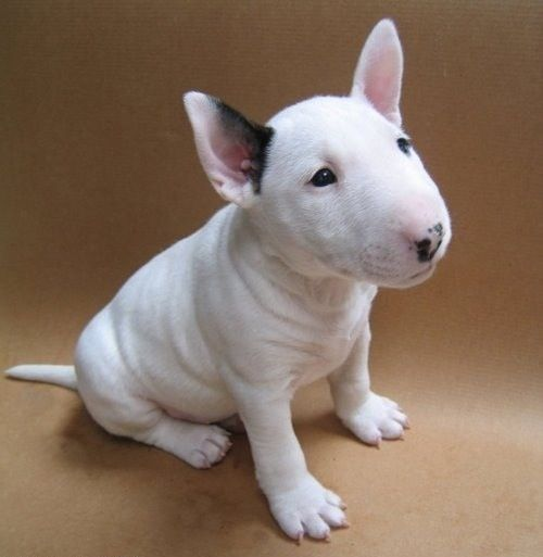 O. M. G. !!! bull terrier puppy