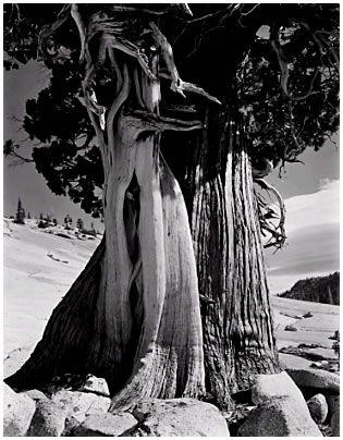 Juniper, Lake Tenaya, 1937 (JI-C-1G)  Edward Weston negative, Cole Weston print