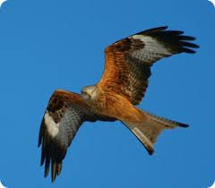 Red Kite. Possibly my favourite bird.