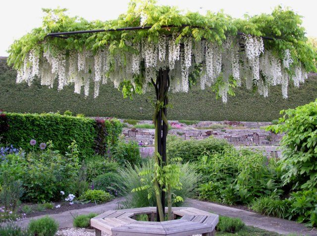 Wisteria Umbrella... I could get some of these going... One or two for the knot, a few for the shade garden. Only blossoms in ealy summer but the seed pods add visual interest afterward.