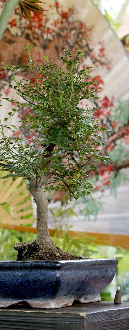 #Bonsai is the art of creating a miniature #tree. #Agricola #nature #OrientalScent