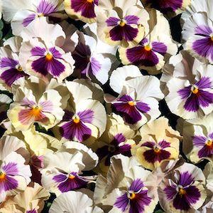 Acquarelle Gelato Mora Pansy - Annual Flower
