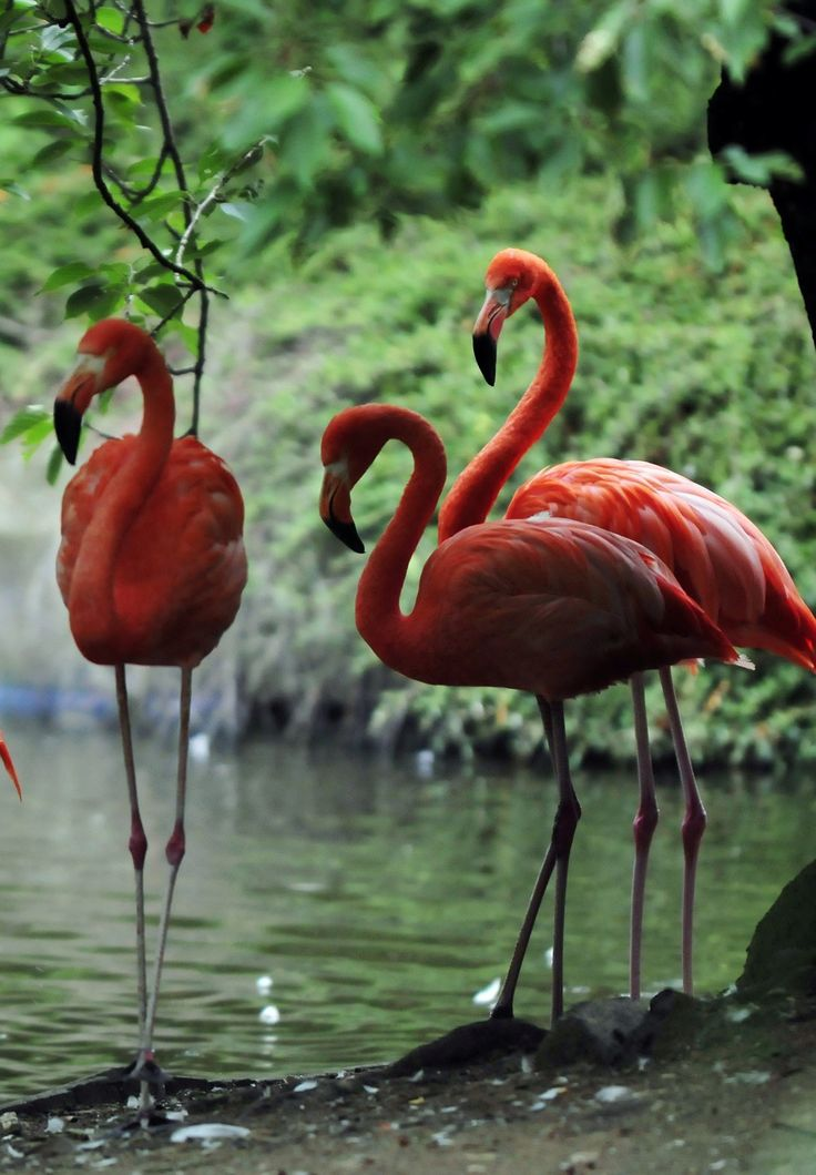 Flamingo Facts: There are 19 bones in a flamingo's long neck. It's unusual beak and feathers are made of a tough substance called keratin. The beak plays an important role in the flamingo finding food in muddy areas. Did you know that the bend halfway down the flamingo's leg is actually its ankle?