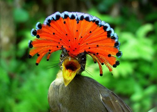 Le moucherolle royal d'Amazonie Le moucherolle royal vit, comme on le devine, dans les forêts et les terres boisées du bassin de l'Amazone. Malgré sa taille de 16 cm en moyenne, il est le champion des très grands nids (6 mètres de long), qu'il construit s
