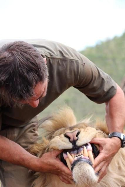 """My, my..what big teeth you have! ~ Kevin Richardson, """"The Lion Whisperer"""", at The Kevin Richardson Wildlife Sanctuary, Gauteng, South Africa."""