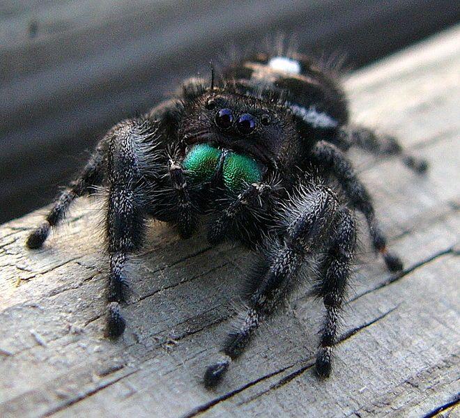 Phidippus audax (Bold Jumping Spider).                                                                                                                                                     More