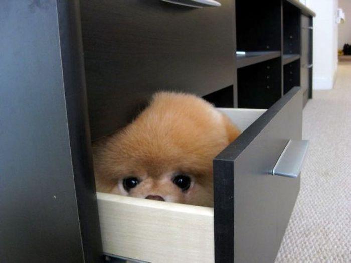 Фото: Забавные собаки любят прятаться от своих хозяев