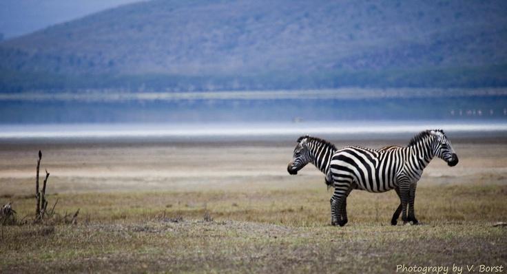 Zebra bedrog