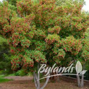 Hot Wings® Maple - Acer tataricum 'GarAnn' PP15023 | Bylands Nurseries Ltd.