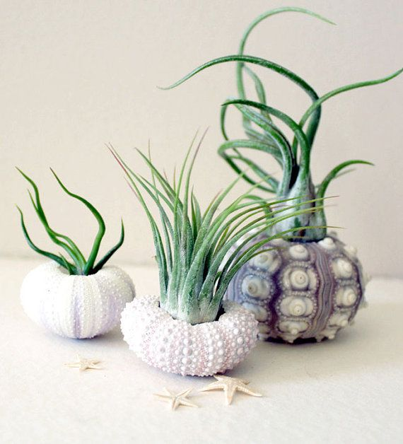 Simple and Beachy! Air plants in pretty sea urchin shells // by by peacocktaco on Etsy, $32.00
