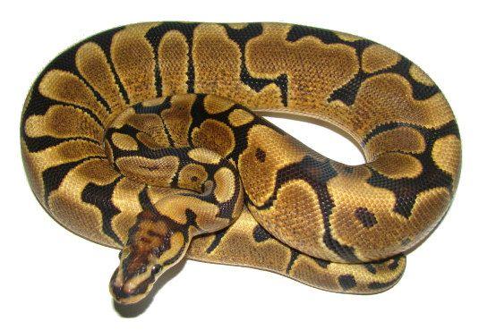 Image result for royal python