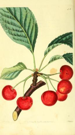 v.1 - The Pomological magazine; - Biodiversity Heritage Library