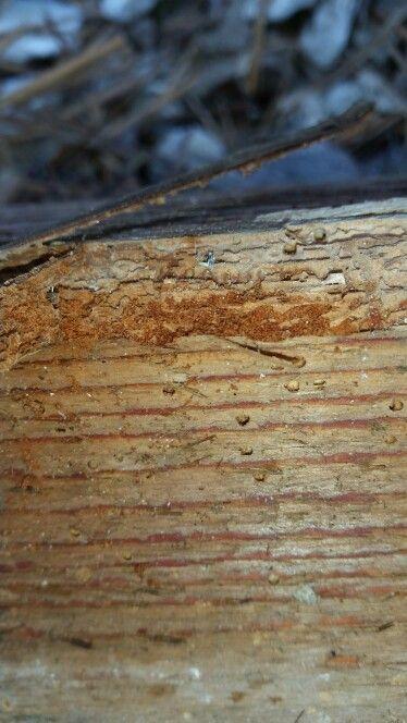 Houtworm Inprema