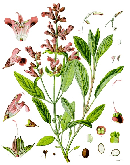 Saliethee, Salie thee, geneeskracht van kruidenthee