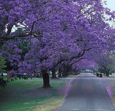 Love To See The Stunning Jacaranda Trees Bloom In Southern California