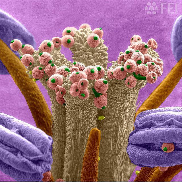 Geranium dissectum flower - Courtesy of Dr. Riccardo Antonelli. 140x