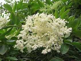 SVARTHYLL - Sambucus nigra. Kulturplante i Norge siden middelalderen. Liten busk som kan bli opptil 7 meter høy. Vill svarthyll forekommer i nærheten av hager - eller der det en gang i historien har vært en hage. Blad, bark, blomster og bær brukt medisinsk. Vanndrivende, purgativ. Sederende. Rot, bark og grønne plantedeler av svarthyll inneholder giftige alkaloider og blåsyreglykosider som kan gi kvalme, oppkast og diaré ved inntak i større mengder. Unngås ved graviditet og ammin, ellers…
