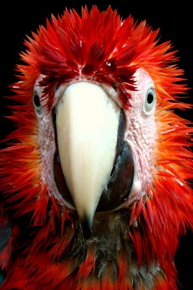 Close-up of a Scarlet Macaw just after taking a bath