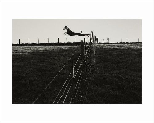 Leaping lurcher by Fay Godwin