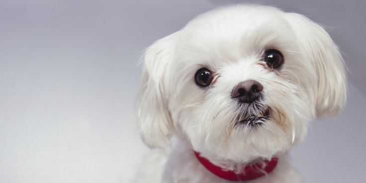 maltese dogs haircuts best 25 haircuts ideas on grooming 5725