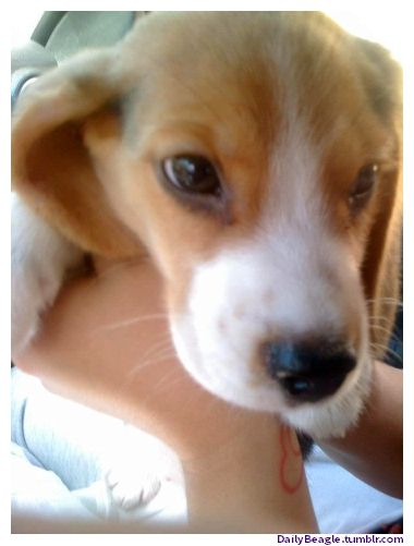 A Picture of Cute Beagles