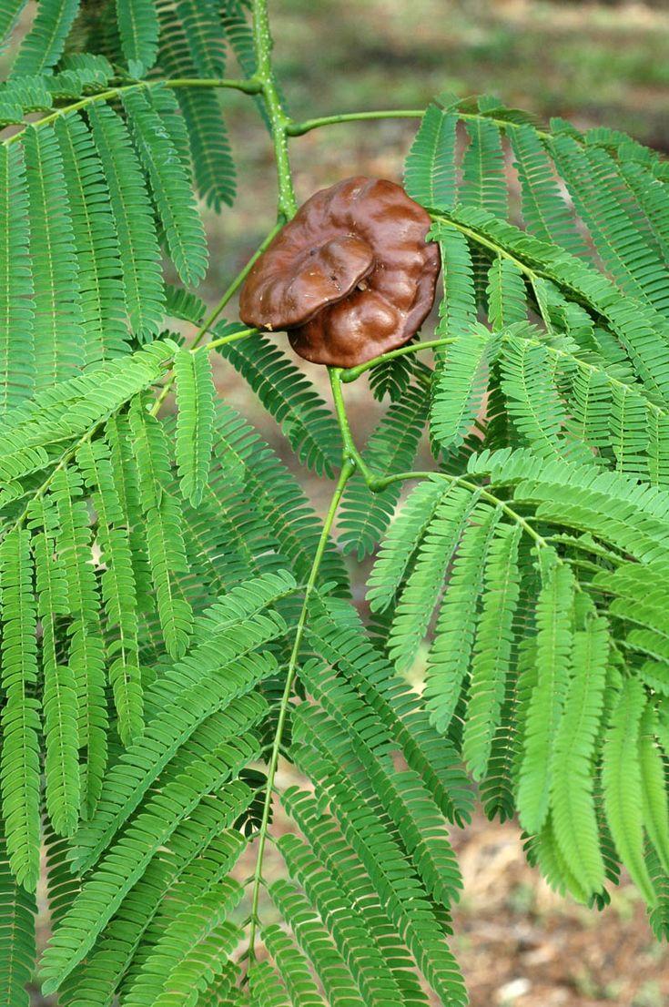 Fabaceae-Mimosaceae | Enterolobium cyclocarpum, Guanacaste