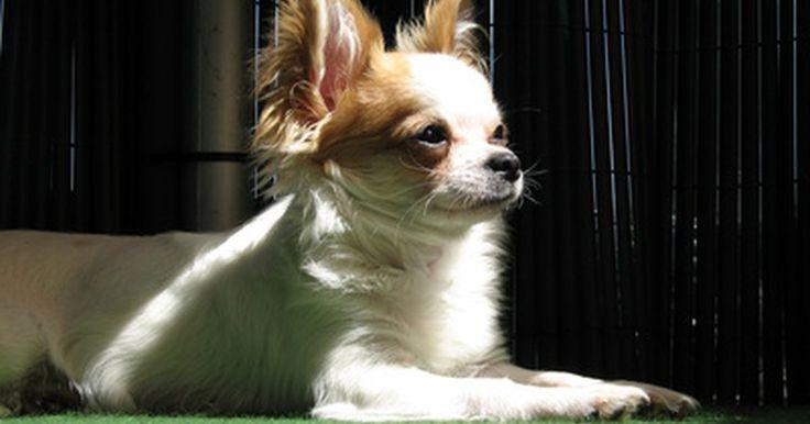 Información sobre los cachorros chorkies (mezcla de chihuahua y yorkie). Los chihuahuas y los yorkshire terriers (también conocidos como yorkies), disfrutan de la reputación de ser perros pequeños con grandes personalidades y de desempeñarse como los mejores amigos y confidentes. No sorprende entonces que la mezcla de estas dos razas enérgicas se haya vuelto tan popular. Esta mezcla, llamada chorkie, es también ...