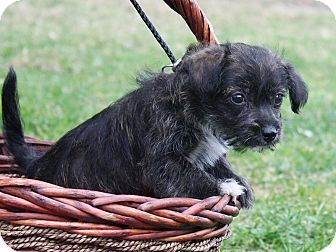 THE DAVINCI FOUNDATION FOR ANIMALS RESCUE ACROSS THE NATION:Rescue Info Burbank, CA - Opus is a Terrier mix puppy about 2 months old and 2 pounds. He has a mixed black and brown coat with some white. He's the runt of his litter and is the laid back couch potato type who would love to watch movie marathons with you!