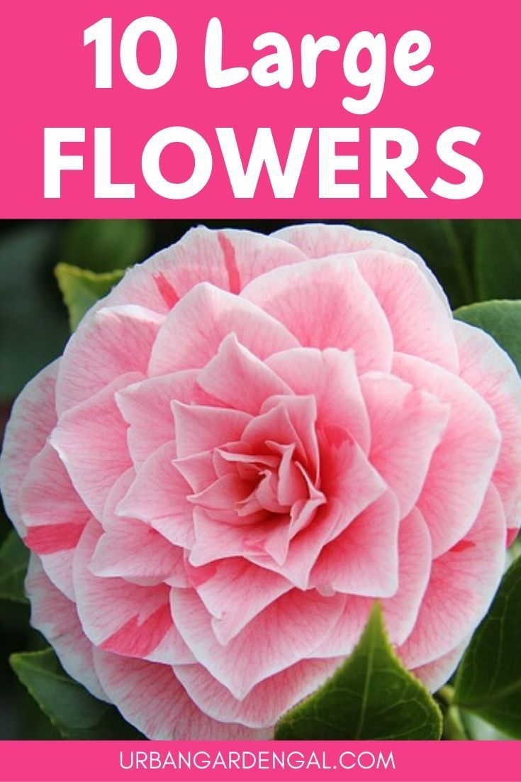 10 Large Flowers To Grow In Your Garden In 2020 Small Flower Gardens Showy Flowers Planting Flowers